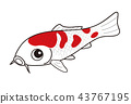鯉魚Nishikigoi紅色和白色 43767195