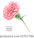 Pink Carnation. Symbol of Mothers Day 43767786