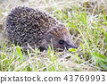 Hedgehog in the grass barbed. wild nature 43769993