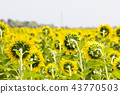 Field with sunflowers. Young sunflowers.  43770503