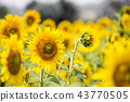 Field with sunflowers. Young sunflowers. 43770505