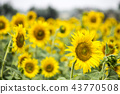Field with sunflowers. Young sunflowers. 43770508
