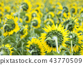 Field with sunflowers. Young sunflowers. 43770509