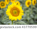 Field with sunflowers. Young sunflowers.  43770599