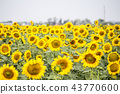 Field with sunflowers. Young sunflowers.  43770600