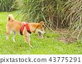 草地上的柴犬 43775291