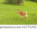草地上的柴犬 43775292