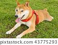 草地上的柴犬 43775293