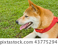 草地上的柴犬 43775294