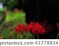 석산, 피안화, 꽃무릇 43778834