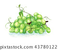 Green grapes on a branch 43780122