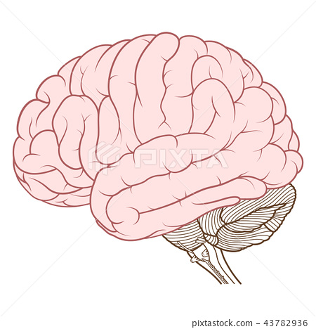 Coloured cerebrum of human brain side view flat 43782936