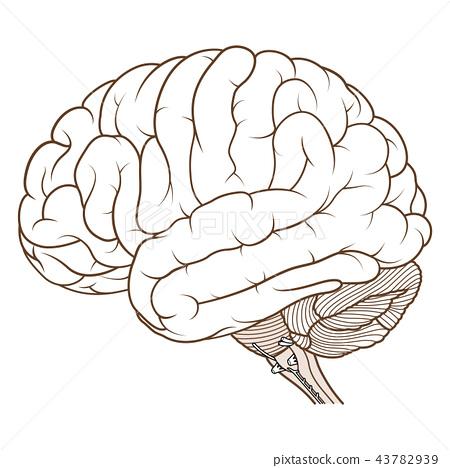 Coloured brainstem of human brain side view flat 43782939