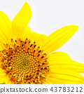 blurred sunflower in the white light a  background 43783212