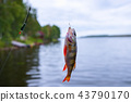 hooked fish perch 43790170