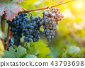 Red grapes of wine in wineyard, sunset light 43793698
