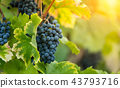 Red grapes of wine in wineyard, sunset light 43793716