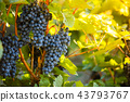 Red grapes of wine in wineyard, sunset light 43793767