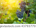 Red grapes of wine in wineyard, sunset light 43793770