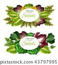 salad leaf vegetable 43797995