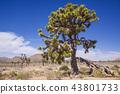 조슈아 트리 국립 공원의 식물 : 조 쥬아 트리 43801733