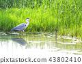 grey heron, gray heron, heron 43802410