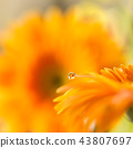 bloom,blossom,blossoms 43807697