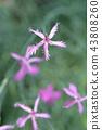 Pink carnation 43808260