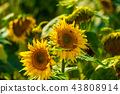 Sunflower and bees in the garden 43808914