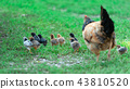 Chicks walking with mum hen that follows them 43810520