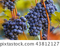 Bunch of grapes on a vineyard during sunset. 43812127