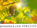 Bunch of grapes on a vineyard during sunset. 43812155