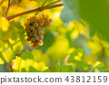 Bunch of grapes on a vineyard during sunset. 43812159