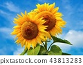 Beautiful blossoming sunflowers with blue sky. 43813283