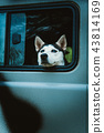 sad dog Husky looks out of the window  43814169