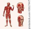Human anatomy. Muscular and bone system of the head. Medical Vector illustration for science 43817447