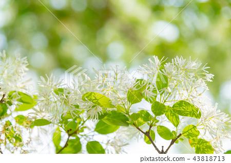 流蘇樹 流蘇花 Chionanthus Retusus ヒトツバタゴ 白色花 43818713