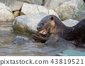 North American river otter eat fish in water 43819521