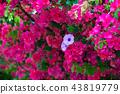牽牛花和九重葛 牽牛とブーゲンビリア Morning Glory and Bougainvillea 43819779