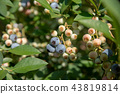 blueberries, blueberry, fruit 43819814