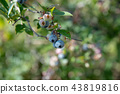 blueberries, blueberry, fruit 43819816