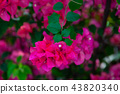 花朵 花卉 花 43820340