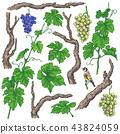 Hand Drawn Grape Branches and Vine 43824059
