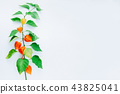 Orange Flower of physalis alkekengi isolated 43825041