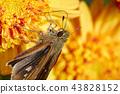 국화와 나비 43828152