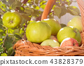 Family farming. Green apples. Full basket of apples. 43828379