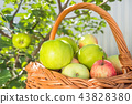 Thanksgiving Day. Rich harvest of apples. Healthy food concept. 43828380