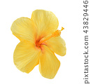 Yellow hibiscus isolated on white background 43829446