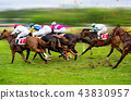 Race horses with jockeys on the home straight 43830957