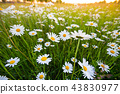 Chamomile meadow flowers. Beautiful nature scene with blooming chamomilles. 43830977